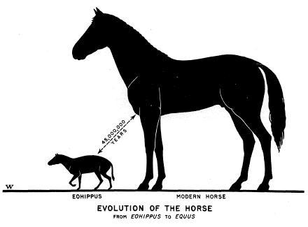 Eohippus to Equus
